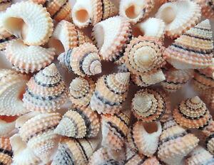 Coquillage tectarius lot de 3 d coration coquillage mer aquarium cr atif ebay - Decoration coquillage mer ...