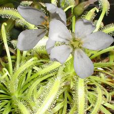 seeds 15 ALBA Cape Sundew Drosera capensis