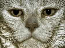GREY CAT FACE EYES PORTRAIT PHOTO ART PRINT POSTER PICTURE BMP1852A