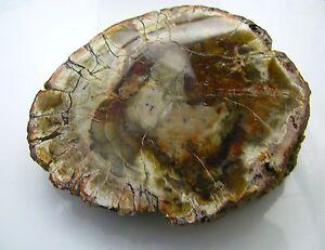 Edelsteine-Versteinertes-Holz-Scheibe-Nadelholz-Urgestein-USA-Arizona-800g
