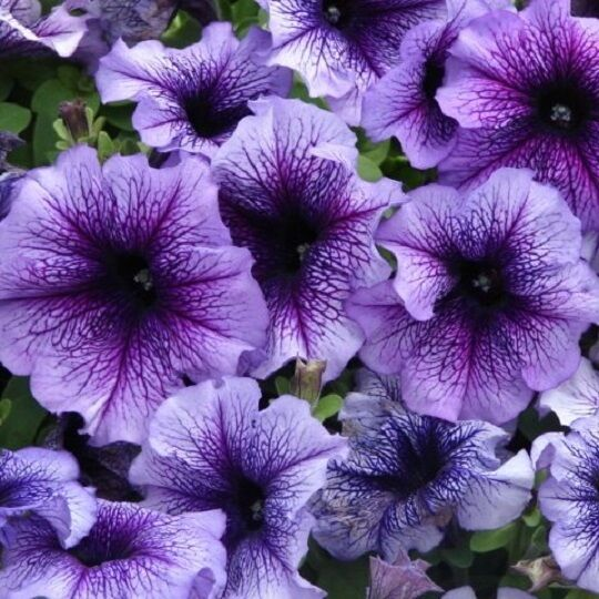 Petunia Express Blue Vein - 50 Pelleted seeds - Annual