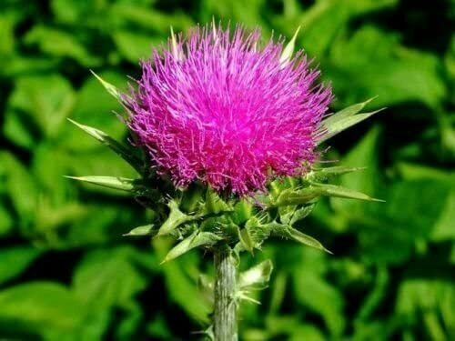 50pcs Carduus Thistle Plant Seeds Mixed Medicinal Perennial Herb Flower Bonsai