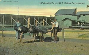 Seattle-Washington-Hills-Ostrich-Farm-Madison-Street-1910-Postcard