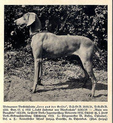 Lore Aus Der Grüte Weimaraner Vorstehhündin Jagdhunde & Züchter 1930-40