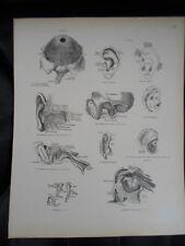 #39 Rare Vintage Old Print From Descriptive Atlas of Anatomy 1880  Medical Retro