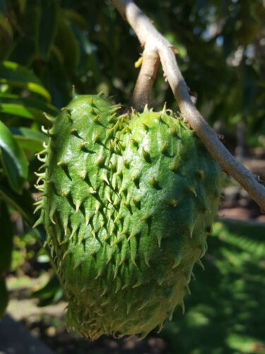 COROSSOL annona muricata ÉNORME FRUIT 6 graines seeds