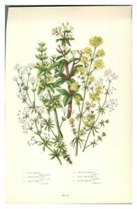 Antique-colour-print-botanical-flower-study-Wild-Madder-Smooth-Heath