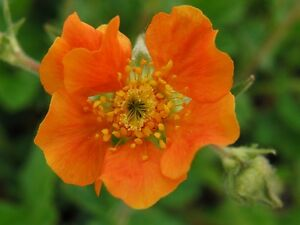 50 Extra Large Tangerine Orange Geum Flower Seeds Perennial Ebay