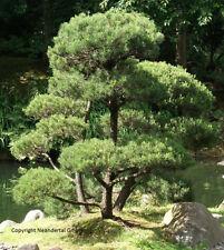 Bonsai Kiefer Pflanzen Duftsträucher Duftstauden für den Topf Balkon Garten Deko