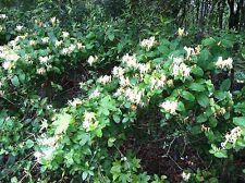 Honeysuckle Vine 10 Bare Root Plants Yellow & White Spring Blooms Sun Shade