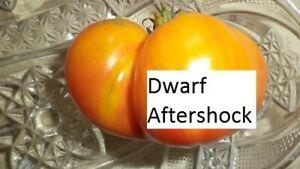 Dwarf-Aftershock-10-Tomaten-Samen-Ernte-2019-aus-bio-Anbau-Nr-199
