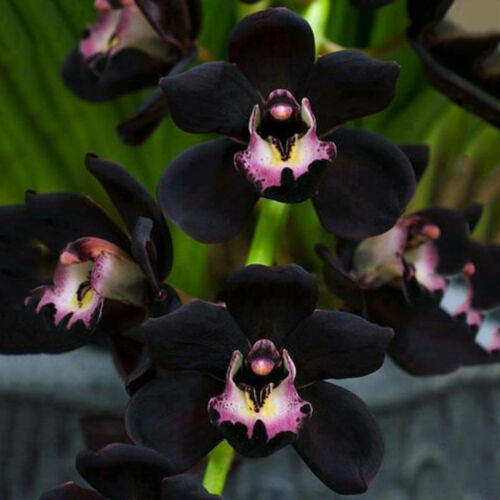 100PCS Seltene Schwarz Cymbidium Faberi Orchidee Blumensamen Heim Garten Dekor