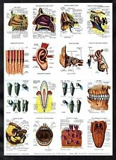 Human Ear Nose & Mouth 16 Card Sheet Set Uncut 1962 Anatomy Medicine To Frame ?