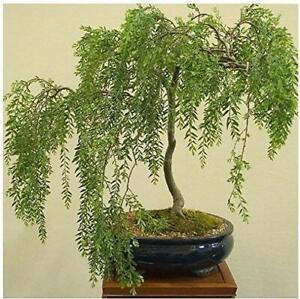 Bonsai-Austraulian-Willow-Tree-Thick-Trunk-Cutting-Exotic-Bonsai-Material