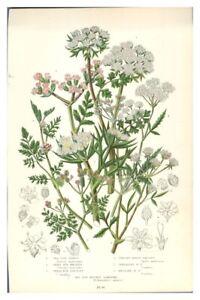Antique-colour-print-botanical-flower-study-Sea-Side-Carrot-Hedge-Parsley