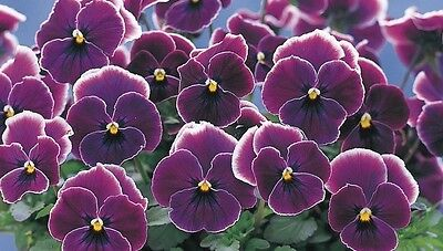 NEW! 20+ PANSY VIOLET PICOTEE FLOWER SEEDS