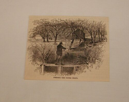 1884 magazine engraving FEEDING THE YOUNG TROUT, FLY FISHING