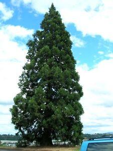 30 Metasequoia Tree Seeds Mixed Dawn Redwood Coniferous Rare Plant Grove Bonsai