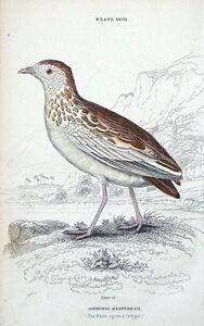 WHITE-SPOTTED-ORTYGIS-Jardine-hand-coloured-antique-bird-print-1834
