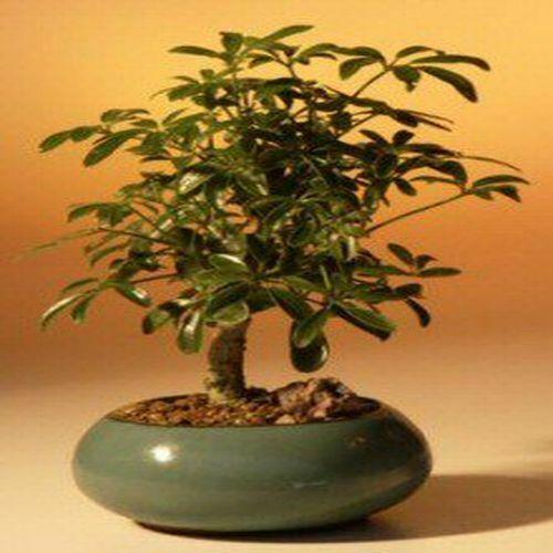 Hawaiian Umbrella Pre Bonsai Tree Banyan Style Arboricola Schefflera For Sale Online Ebay