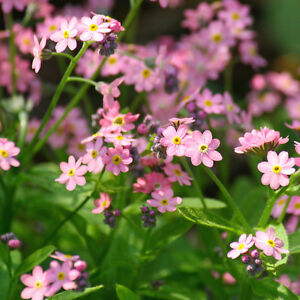 CYNOGLOSSUM Mystic Pink Chinese Forget-me-not Seeds F 136
