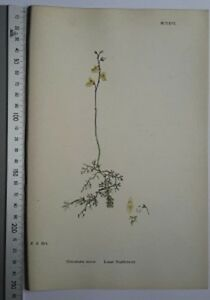 English-Botany-J-Sowerby-handcoloured-Lithograph-Plate-1126-3-Edit-1880