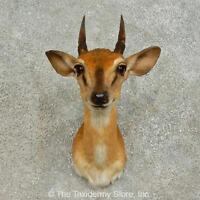 16379 P   Suni Antelope Shoulder Taxidermy Mount For Sale