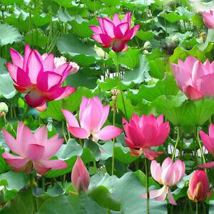 10pcs Indoor Bowl Lotus Flower Seeds Water Lily Seeds Bonsai Aquatic