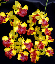 "ONCIDESA LITTLE DRAGON 'CARMELA', MINIATURE ORCHID SHIPPED IN 2 1/2"" POT"