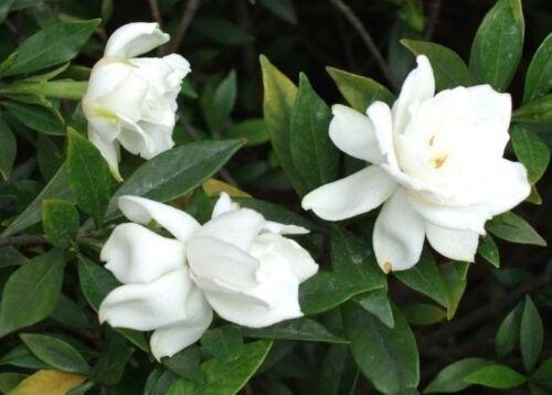Outdoors  Indoor House Plant  Perenni White Fragrant Gardenia Flower Seeds 15