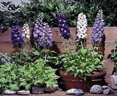 Delphinium Seeds Magic Fountain Mix FLOWER SEEDS 100 Seeds (PERENNIAL)