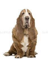 PHOTOGRAPHY ANIMAL DOG BASSET HOUND WRINKLY COAT PET ART POSTER PRINT BMP10399