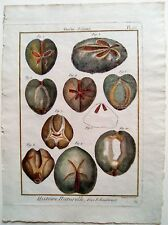 COQUILLAGES 18è (1788-1792), SHELLS, HISTOIRE NATURELLE PANCKOUCKE