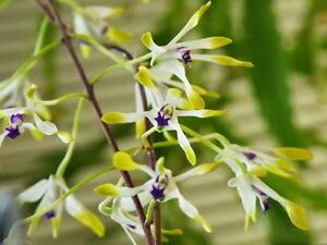Rare-orchid-species-Blooming-plant-Dendrobium-canaliculatum
