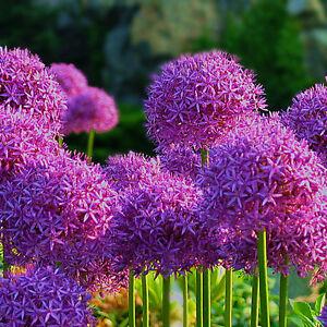 20XPurple Giant Allium Giganteum Flower Seeds Garden Plant Wholesale FHTR | eBay