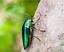 100 S Size Green Elytra Sternocera Jewel Beetle Wings Jewelry Fashion Design