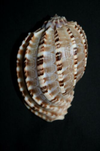 Articulated HARP seashell