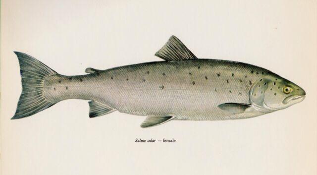 Vintage Fish Print Atlantic Salmon Print Female Fishing Beach Decor 1760