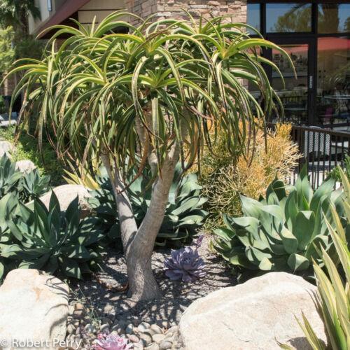 5 Seeds Tree Aloe Aloe barbarae