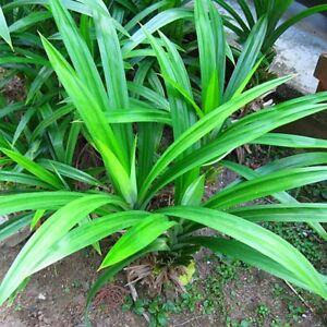 Pandan-fragrant-Leaves-Pandanus-amaryllifolius-rooted-live-Plant-from-USA-Fresh