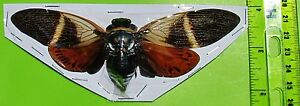 Very Large Black & Orange Cicada Angamiana floridula Spread FAST SHIP FROM USA