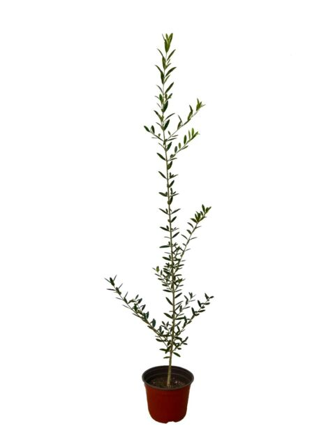 Arbequina Olive Tree - Live Plant - Grow Your Own Olives - Olea Europaea