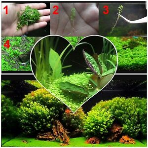 Aquarium carpet plant grow your own fish tank plants for Growing plants in water with fish