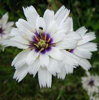 30+ WHITE CATANANCHE CUPID'S DART FLOWER SEEDS PERENNIAL