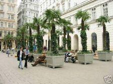 Winterharte Garten-Palmen Chamaerops excelsa schnellwüchsig & robust ! Samen ...