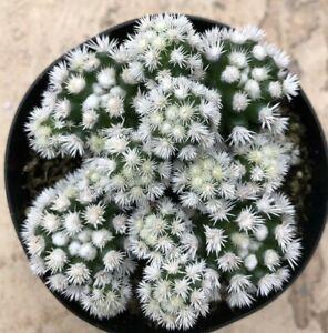 Mammillaria-Vetula-Subsp-Gracilis-Arizona-Snowcap-Comes-in-a-3-5-034-pot