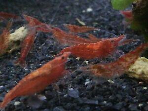 10-2-Red-Cherry-Shrimp-neocaridina-homebred-freshwater-fish-live-invertebrate