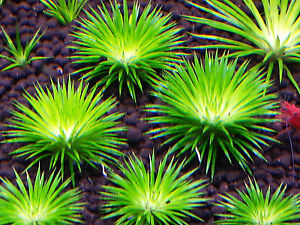 Eriocaulon-seeds-BUY-3-GET-ONE-FREE-Live-Aquatic-Aquarium-Plants