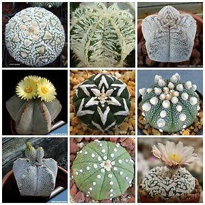 20-semi-in-miscuglio-di-Astrophytum-mix-piante-grasse-seed-cactus-mix