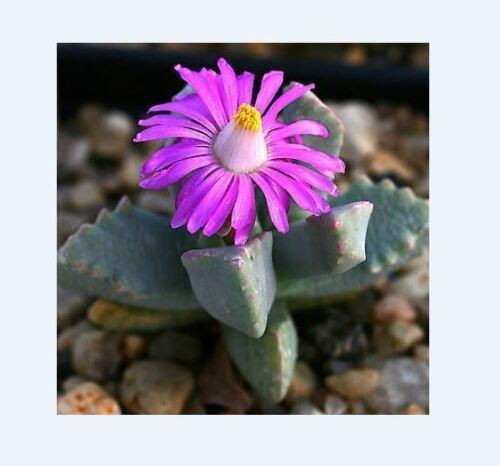Succulent Samen Semi Korn Graine 種子 씨앗 Семена 10 SEEDS Dracophilus Delaetianus